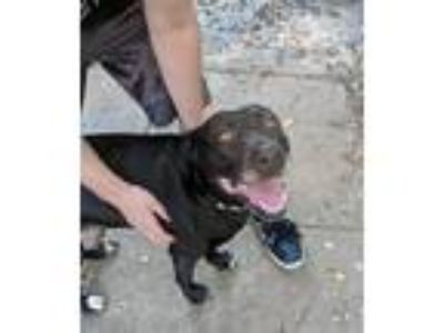 Adopt Lucy Marcy a Black Labrador Retriever / Mixed dog in Thomasville