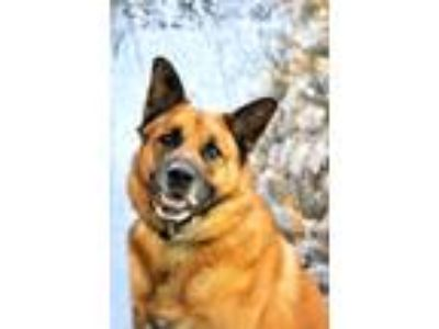 Adopt Sampson a Shepherd (Unknown Type) / German Shepherd Dog / Mixed dog in Ft.