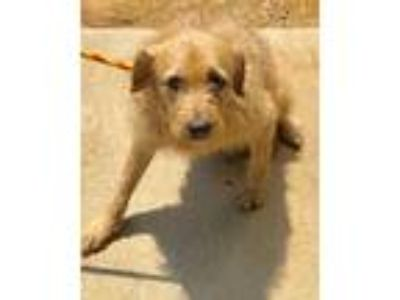 Adopt Bubba a Tan/Yellow/Fawn Airedale Terrier / Irish Wolfhound / Mixed dog in