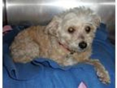 Adopt Snuggles a Poodle (Standard) / Mixed dog in Greeneville, TN (25572298)