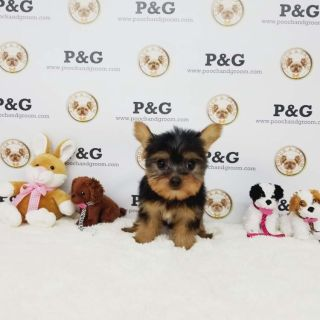 Yorkshire Terrier PUPPY FOR SALE ADN-77712 - Yorkshire Terrier Wendy Teacup