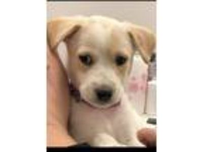 Adopt Ali a Labrador Retriever, Mixed Breed