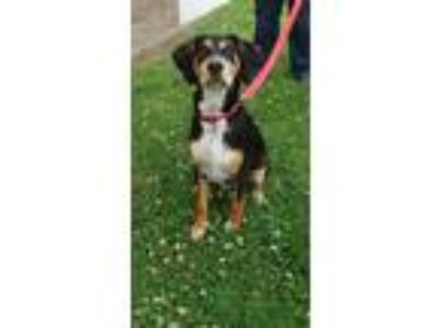 Adopt Cooper a Black - with Tan, Yellow or Fawn Coonhound / Bluetick Coonhound /
