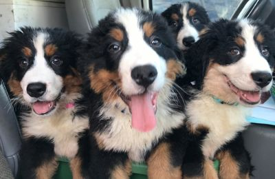 Bernese Mountain Dog PUPPY FOR SALE ADN-120271 - Bernese Mountain Puppies