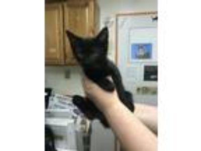Adopt Snipper (Lilith kitten 4) a Domestic Short Hair
