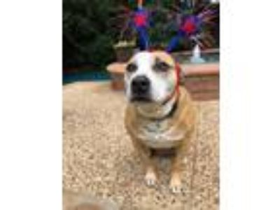 Adopt Lady a White - with Red, Golden, Orange or Chestnut Pit Bull Terrier /