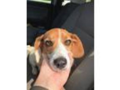 Adopt Lady Bug a White - with Tan, Yellow or Fawn Beagle / Beagle / Mixed dog in