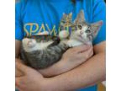 Adopt Biscuits a Domestic Short Hair