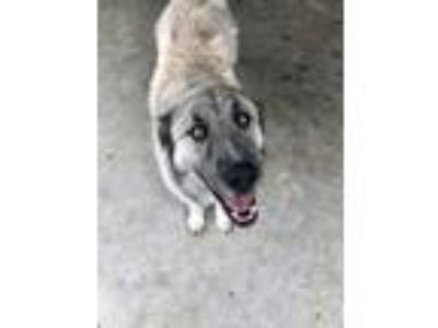 Adopt Turner a Tan/Yellow/Fawn Great Pyrenees / Mixed dog in Justin