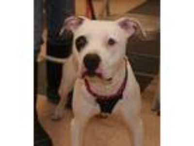 Adopt Petey a White - with Black American Pit Bull Terrier / Mixed dog in