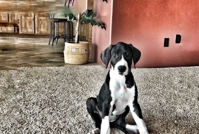 Great Dane PUPPY FOR SALE ADN-94913 - New AKC Great Dane Puppies Available