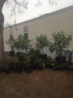 Loquat trees/ Time to plant
