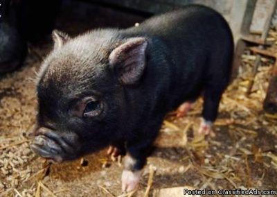 Sweet baby Mini Pig named Emmy