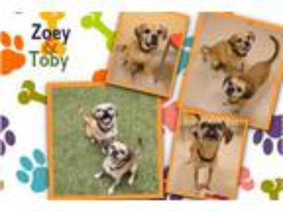 Adopt ZOEY a Brown/Chocolate - with Tan Pug / Beagle / Mixed dog in Dedham