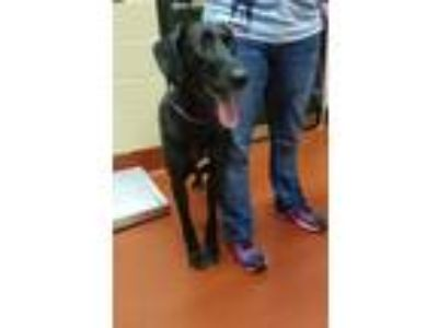 Adopt Hershel a Black Great Dane / Labrador Retriever dog in Douglasville