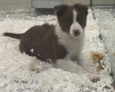 Adorable Border collie puppies