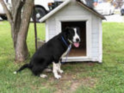 Adopt KAHILMAN a Black - with White Border Collie / Mixed dog in Rosenberg