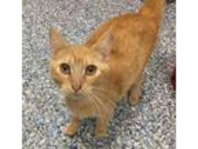 Adopt Butterfinger a Domestic Short Hair