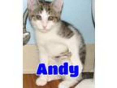 Adopt #4629 Andy a Gray, Blue or Silver Tabby Domestic Shorthair / Mixed (short