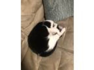 Adopt Lana a Black & White or Tuxedo American Shorthair / Mixed cat in