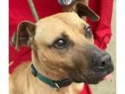 Adopt ADAM a American Staffordshire Terrier