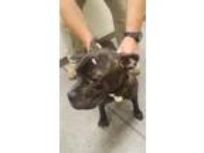 Adopt Happy a Pit Bull Terrier / Mixed dog in Rome, GA (25937161)