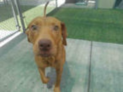 Adopt RED a Brown/Chocolate Hound (Unknown Type) / Mixed dog in Winter Haven