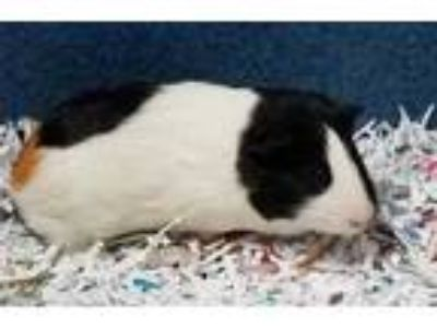 Adopt Bugsy a White Guinea Pig / Mixed small animal in DeKalb, IL (25218671)