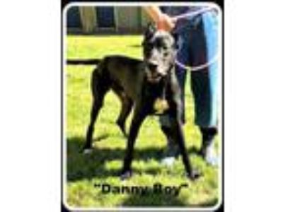 Adopt Danny Boy a Great Dane / Mixed dog in Denison, TX (25551288)