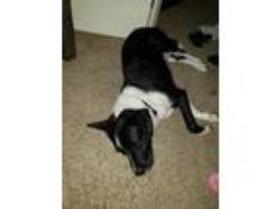 Adopt Puma a Black - with White Border Collie / Border Terrier dog in Oak Lawn
