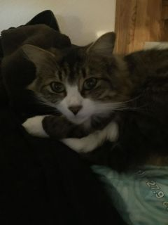 Needing to rehome our cute little bobtail kitty