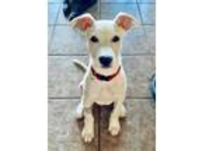 Adopt Kody a White Labrador Retriever / Mixed dog in Rockwall, TX (25893966)