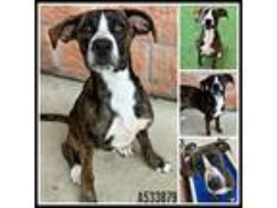 Adopt HENRY a Brindle - with White German Shepherd Dog / Mixed dog in San