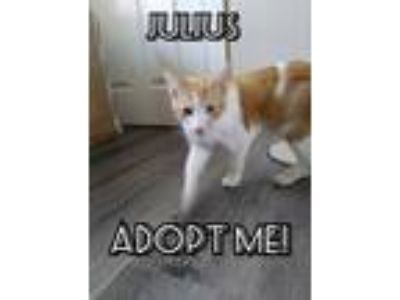 Adopt Julius a Orange or Red (Mostly) Domestic Shorthair (short coat) cat in