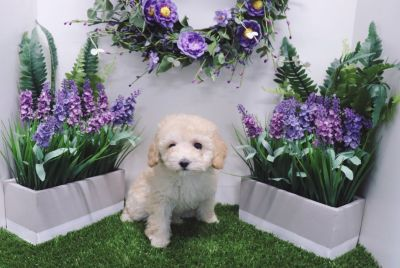 Toy Poodle - Jordan - Male