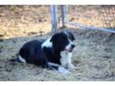 AKC Female Border Collie (2 Price Options)