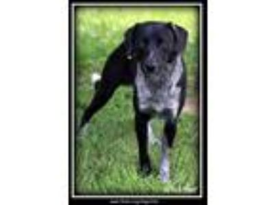 Adopt Whistler a Black Australian Cattle Dog / Mixed dog in Sullivan