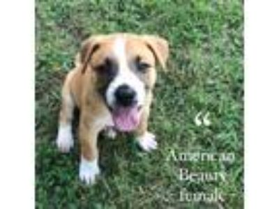 Adopt AMERICAN BEAUTY SOCIETY-AN AMERICAN PUP a Mixed Breed