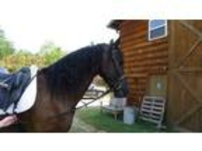 Reduced price Strong Friesian Gelding