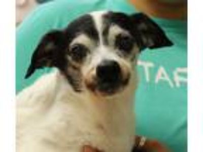 Adopt Angel a Jack Russell Terrier / Mixed dog in Sioux City, IA (25301619)