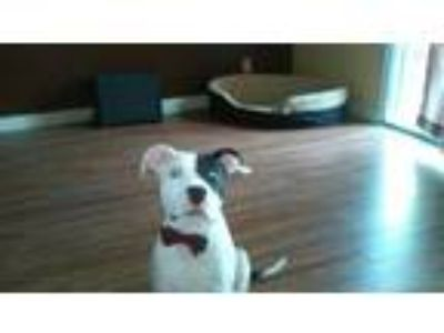Adopt Maximus a White - with Black American Staffordshire Terrier / Mixed dog in