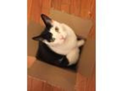 Adopt Ted a Black & White or Tuxedo American Shorthair / Mixed cat in New York