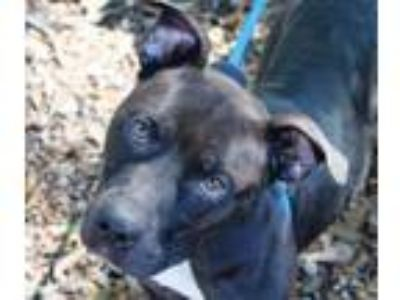 Adopt Mario a Pit Bull Terrier, Mixed Breed