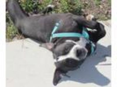 Adopt Jesse a Pit Bull Terrier