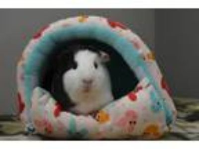 Adopt Katie and Yoshimi a Abyssinian, Guinea Pig