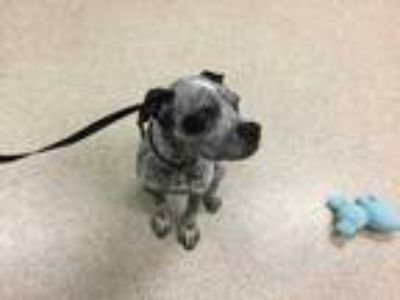 Adopt Dog a Black - with White Boxer / Mixed dog in Jurupa Valley, CA (25911604)