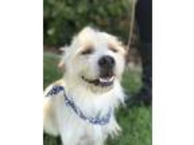 Adopt Garth a White - with Tan, Yellow or Fawn Cairn Terrier / Brussels Griffon