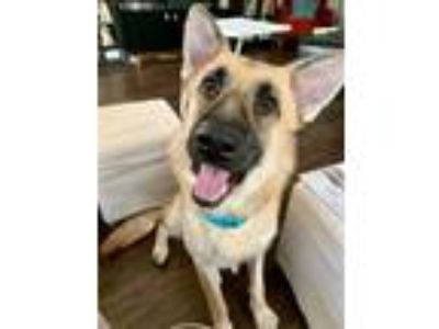 Adopt Claudette a Tan/Yellow/Fawn - with Black German Shepherd Dog / Mixed dog