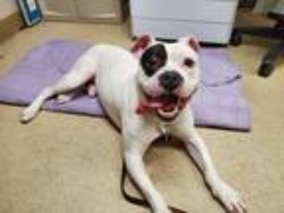 Adopt Petey a White - with Black Pit Bull Terrier / Mixed dog in Naperville