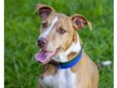 Adopt CAROLINE a Tan/Yellow/Fawn - with White Vizsla / Mixed dog in St.
